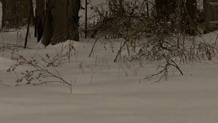 Photo of a backyard full of snow, with dead branches and weeds showing through, and two large tree trunks in the distance..